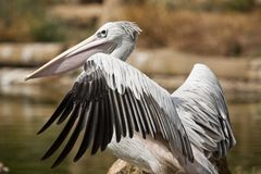 Pink-backed Pelican. Close view of a Pink-backed Pelican bird on a zoo stock image