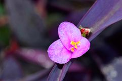 Purple flower, Pune. Close view of Purple flower at Pune Stock Photo