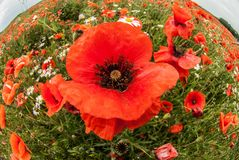 A close view of red poppies on the summer flower field. A poppy is a symbol of Memorial Day Poppy Day. The photo was shot using a fish-eye lense Stock Photo