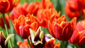 Close view of red tulips Stock Photography