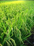 Close View of a Rice Field Royalty Free Stock Images