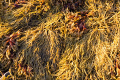 Close view of rockweed at low tide in Maine Stock Photo