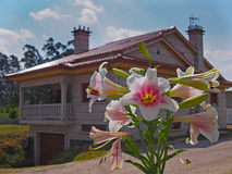 Close view of rose lilly with country house at background Stock Photos