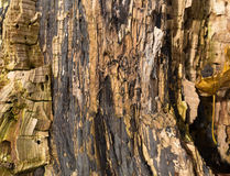 Close view of a rotting tree trunk. A very close view of a rotting tree trunk Stock Photography