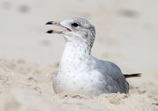Seagull On A Sand Stock Photography