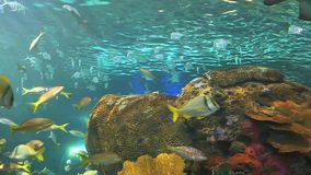 A close view of a shark swimming among huge schools of tropical fish. A close view of a shark swimming by huge schools of tropical fish stock video