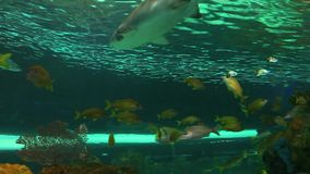 A close view of a shark swimming among huge schools of tropical fish. A close view of a shark swimming by huge schools of tropical fish stock video footage