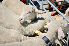 Close view of sheep in sheepfold Royalty Free Stock Images