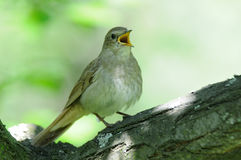Close view of singing nightingale Stock Images