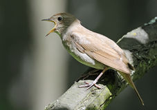 Close view of singing Thrush nightingale. (Luscinia luscinia). Near Moscow, Russia Royalty Free Stock Photo