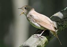 Close view of singing Thrush nightingale Royalty Free Stock Photo
