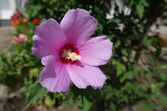 Closeup of single flower of Hibiscus syriacus Stock Photography