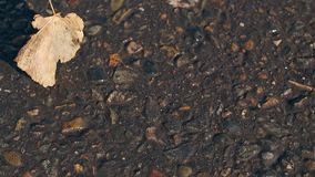 Small dry leaf lies on asphalt and light wind blows away. Close view small dry fallen leaf lies on dark asphalt ground and light autumn wind blows it away stock video footage