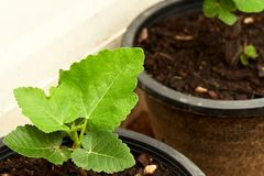 Close view of some fig tree leaves in the garden. Romantic green fig-tree leaves with branch Stock Photo