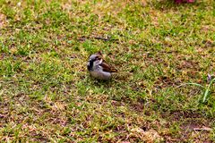 A close view of a sparrow in a park royalty free stock photos