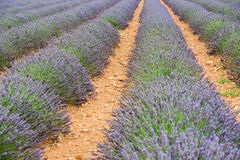 Close view of straight lines of violet lavender bushes Stock Images