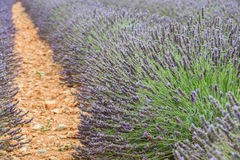 Close view of straight lines of violet lavender bushes Royalty Free Stock Photos