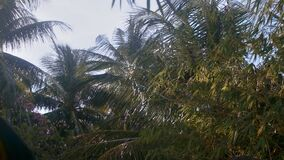 Close View Strong Wind Shakes Large Palm Branches. Close pictorial view strong wind shakes large palm branches on high trees against boundless blue sky stock video footage