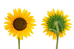 Close view of sunflower Stock Images