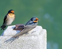 The close view of swallow Royalty Free Stock Photography