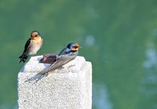 The close view of swallow Royalty Free Stock Images