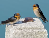 The close view of swallow Royalty Free Stock Photo