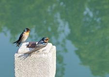 The close view of swallow Royalty Free Stock Image