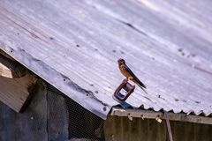 Close view of a swallow sitting on a barn roof royalty free stock image