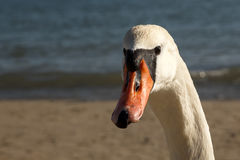 Close view of a swan on the beach wathing curiously to the camera stock photo