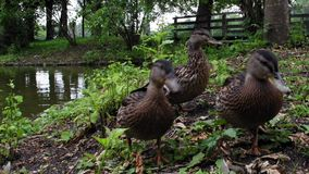 Close view of three ducks who are near a lake on a summer day near the castle of Blutenburg in Munich, Germany. stock video footage