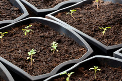 Close view at tiny tomato seedlings planted in flower pots Stock Images