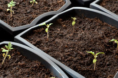Close view at tiny tomato seedlings planted in flower pots Royalty Free Stock Photos