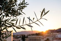 Close view to an olvie tree branch in France. Hills of Cannes in the background. The sun shines through leaves stock photography