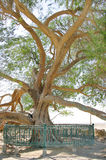 Close view of tree of life in Bahrain. A 400 year-old mesquite tree which lives in the middle of desert Royalty Free Stock Photo