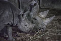Pair of Rhinos Eating. Close view of two double horned Rhinoceros stock photography