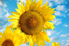 Close view of two sunflowers on a background of blue sky Royalty Free Stock Photos
