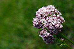 Close view of valeriana officinalis in a sunny day stock photography