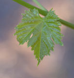 Close View of Vine Leaf. Royalty Free Stock Image