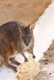 Close view of Wallaroo eating food Stock Images