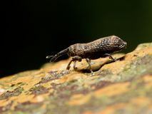 Weevil beetle Stock Images