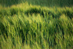 Close view of wheat field. Close view of a green wheat field for texture or background Royalty Free Stock Photo
