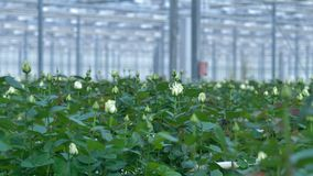 A close view on white budding roses in a commercial greenhouse. stock video