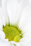 Close view of white flower with water drop Royalty Free Stock Photography