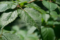 Close View Wild Blackberry Leaves Royalty Free Stock Photos