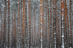 Close view of the winter pine tree forest Stock Photography