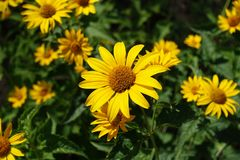Close view of yellow flowerhead of Heliopsis helianthoides Royalty Free Stock Image