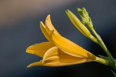 Yellow lilium flower. Close view of a yellow lilium flower in the garden Royalty Free Stock Photography