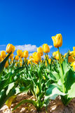Close view of yellow tulips in sunshine during day Stock Photography