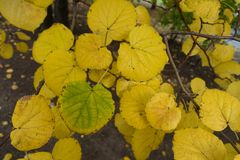 Close view of yellowish green leaf of lime. Tree Stock Images
