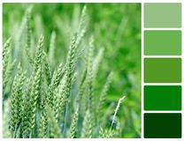 Close view at the young fresh green wheat with palette color swa Stock Photo